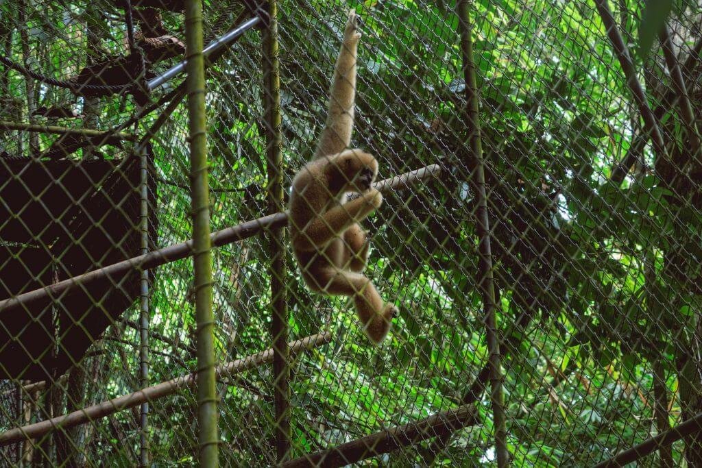 Gibbon Affe Rehabilitation Center Phuket