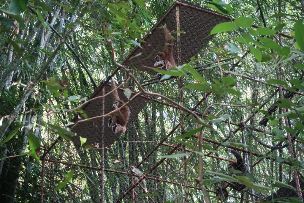 Gibbon Affen im Käfig Phuket